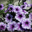 Salpiglossis Seeds Chile Morning Glory Seeds Balcony Potted Plants Ipomoea Nil Flowers for Rooms 4