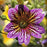 Salpiglossis Seeds Chile Morning Glory Seeds Balcony Potted Plants Ipomoea Nil Flowers for Rooms 6