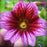 Salpiglossis Seeds Chile Morning Glory Seeds Balcony Potted Plants Ipomoea Nil Flowers for Rooms 9