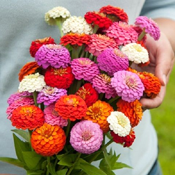 Zinnia Oklahoma Mix Seeds