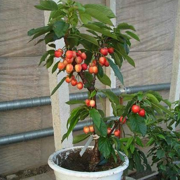 Popular Sweet Cherry Tree Seeds