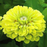 Zinnia Giant Lime Queen
