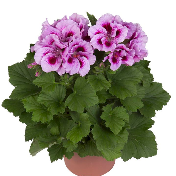 Geranium Nano Flower Seeds