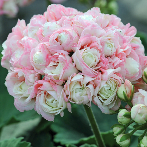Apple Blossom Geranium Seeds