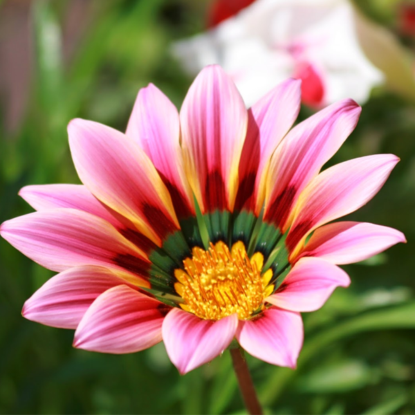 Gazania Big Kiss Sunflower Seeds