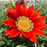 Gazania Coastal Rigens SunFlower Seeds