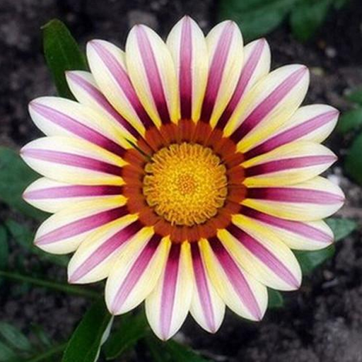 Gazania Rigens Pink SunFlower Seeds
