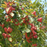 Best Quality Apple Tree Seeds