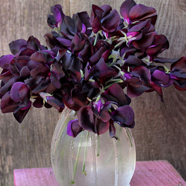 Black Knight Sweet Pea Seeds