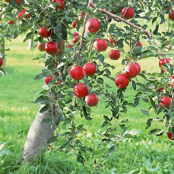 Almata Apple Tree Seeds