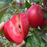 Pure Red Apple Tree Seeds