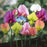 Multi Color Sweet Pea Flower Seeds
