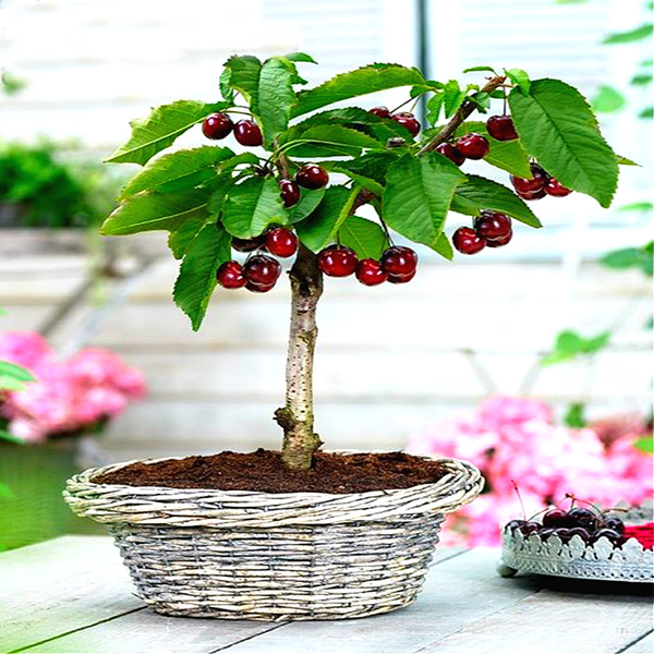 Rainier Cherry Fruit Seeds