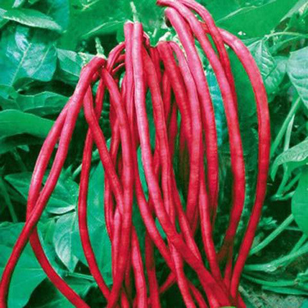 Medusa Bean Seeds