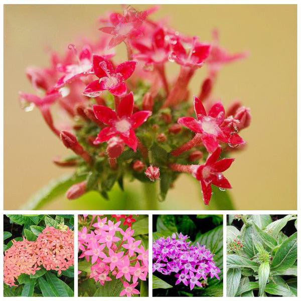 Multi-Colored Pentas Bonsai Seeds
