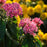 Pink Pentas Bonsai Seeds