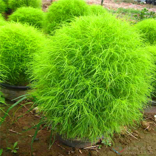 Bonsai Grass Broomsedge seeds 100 pcs hardy plants grass exotic ornamental seeds S016