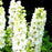 Bonsai seeds Forking Larkspur Salmon King (Delphinium consolida) Family garden decoration Organic Flower  free shipping 100PCS
