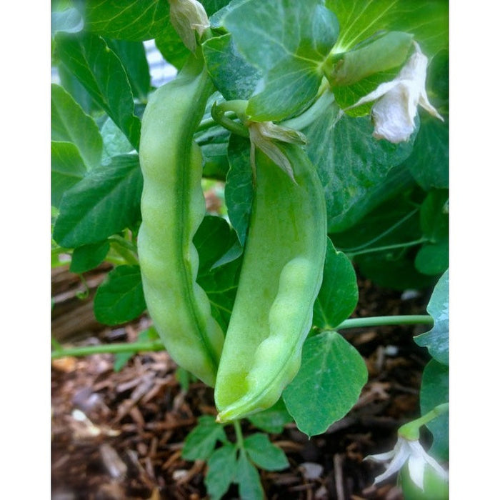 CLEARANCE SALE Organic Heirloom Peas Oregon Sugar Pod  10 seeds