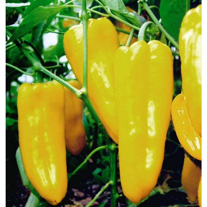 Giant Yellow Pepper Seeds