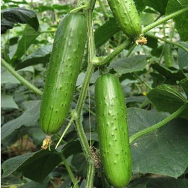 Evergreen Cucumber (20 Seeds)
