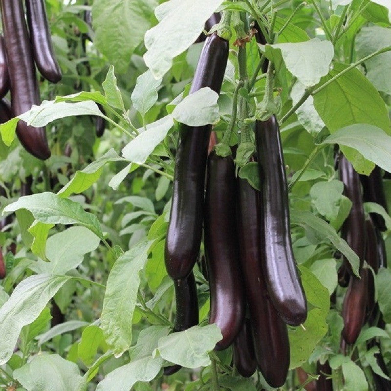 10 Ways To Style Your Very Own Vegetable Garden: Eggplant Vegetable Seeds