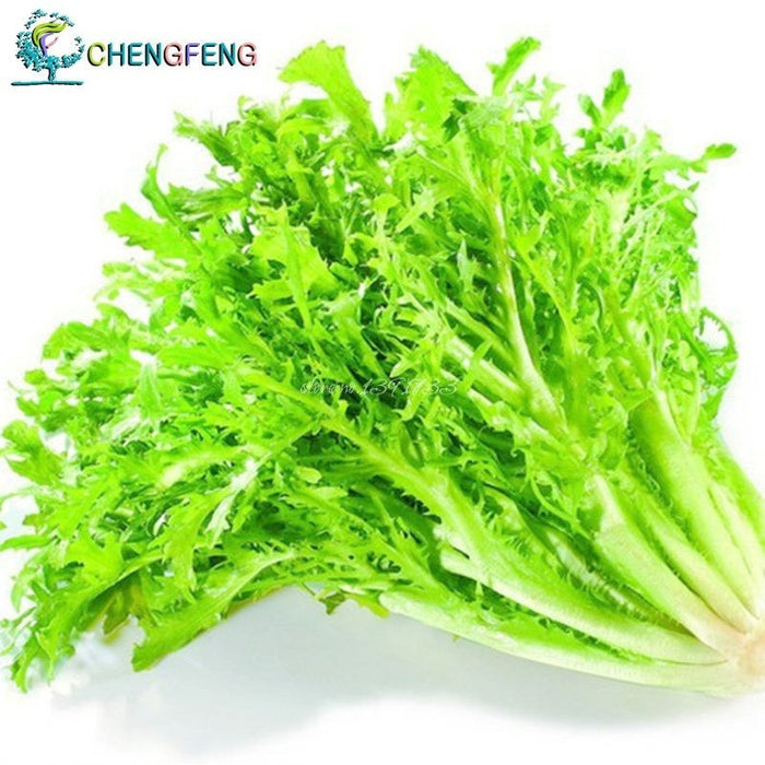 Cichorium Endivia 50pcs Vegetable Seeds