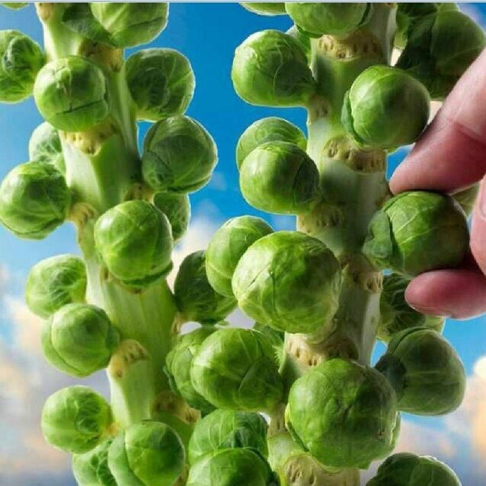 Europe Sub hot organic brussels sprouts seeds of vegetable seeds 200 seeds