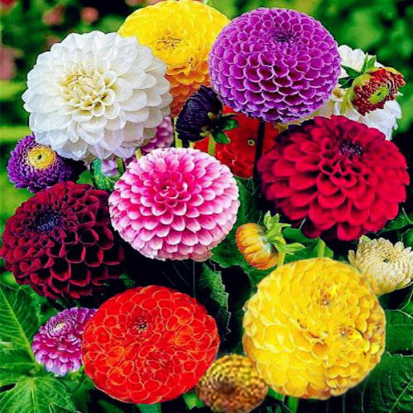 Image result for zinnia