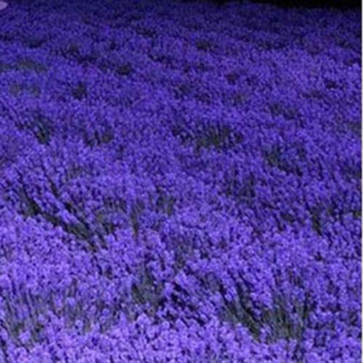 French Provence Lavender Seeds Potted Plant Seeds Very Fragrant 100 Particles / lot 1