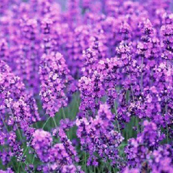 French Provence Lavender Seeds Potted Plant Seeds Very Fragrant 100 Particles / lot 2