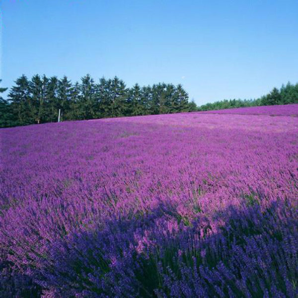 French Provence Lavender Seeds Potted Plant Seeds Very Fragrant 100 Particles / lot 3