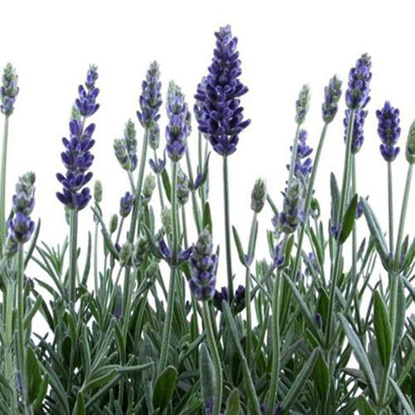 French Provence Lavender Seeds Potted Plant Seeds Very Fragrant 100 Particles / lot 4