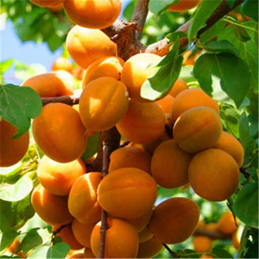 Apricot Fruit Tree Seeds