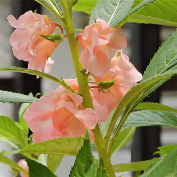 Garden Flowers Impatiens Walleriana Flowers Seeds, About 100 particles for Christmas Yellow
