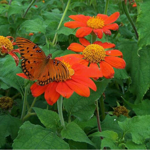 Orange Sunflower,Tithonia Speciosa Goldfinger flower Seeds