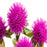 Gomphrena Pink Flower Seeds