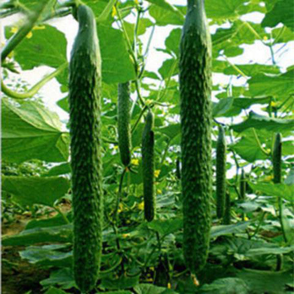 Green Thin and Long Cucumber (100 Seeds)
