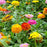 HUA XIAN ZI 50 Seeds/Bag Cut Flowers Zinnia Seeds Mix Color Potted DIY Home Garden Flower