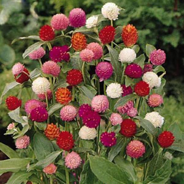 Higro Mix Gomphrena Globe Amaranth Flowers, 30 Seeds, cut flowers E3576