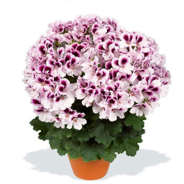 100PCS/Bag Multiple Colour Geranium Seeds, Perennial Flower Seeds Pelargonium ,Indoor Plants Beautiful Flower Seeds 16