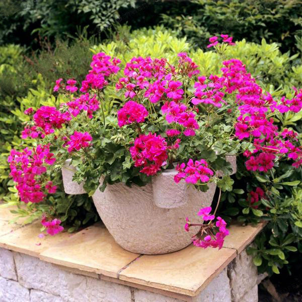 Hot Sale 100PCS/Bag Multiple Colour Geranium Seeds, Perennial Flower Seeds Pelargonium ,Indoor Plants Beautiful Flower Seeds 20