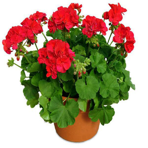 Geranium Flower Seeds