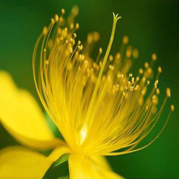 Yellow Hypericum Flowers seeds