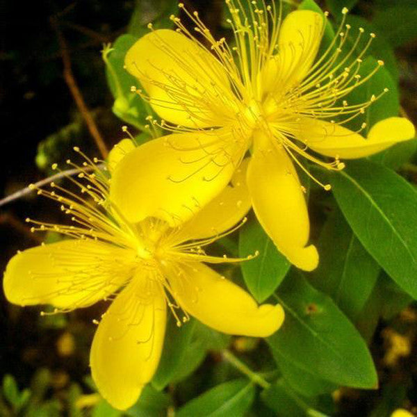 Yellow hypericum flowers seeds jack seeds yellow hypericum flowers seeds mightylinksfo
