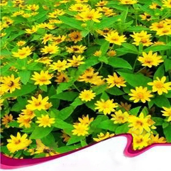 Melampodium paludosum Seeds, Original Package 20pcs Garden bonsai Flower seeds, high temperature resistance