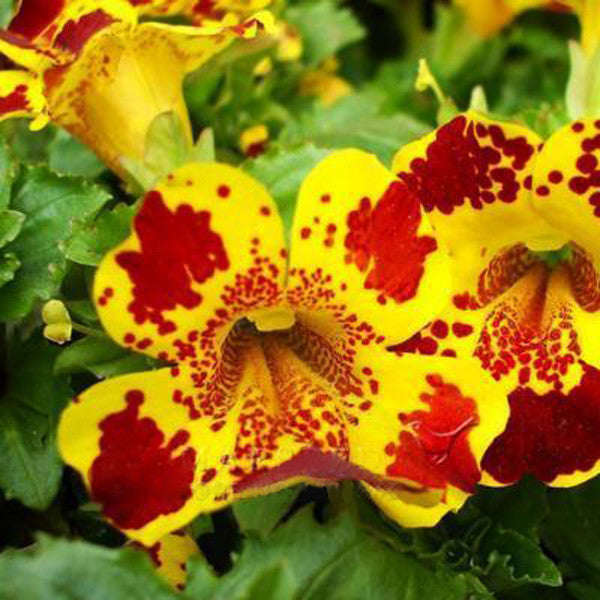 Monkeyflower Seeds Mimulus Moschatus of Bright Flower Seeds Bonsai Seeds DIY Home Garden Free Shipping