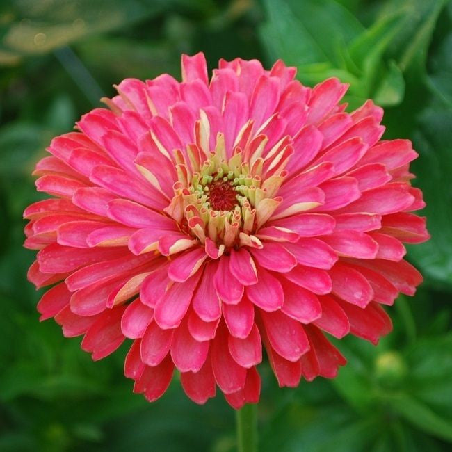 Giant Carmine Rose Zinnia Flower Seeds