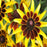NEW 30+seeds/pack RUDBECKIA SOLAR ECLIPSE FLOWER SEEDS /PERENNIAL