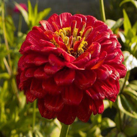 Giant Red Zinnia Flower Seeds